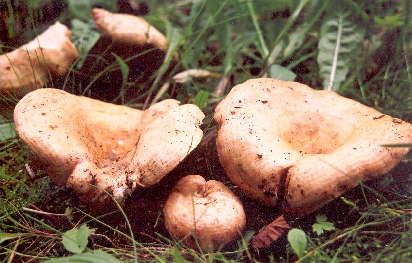 фото съедобных грибов для сушки