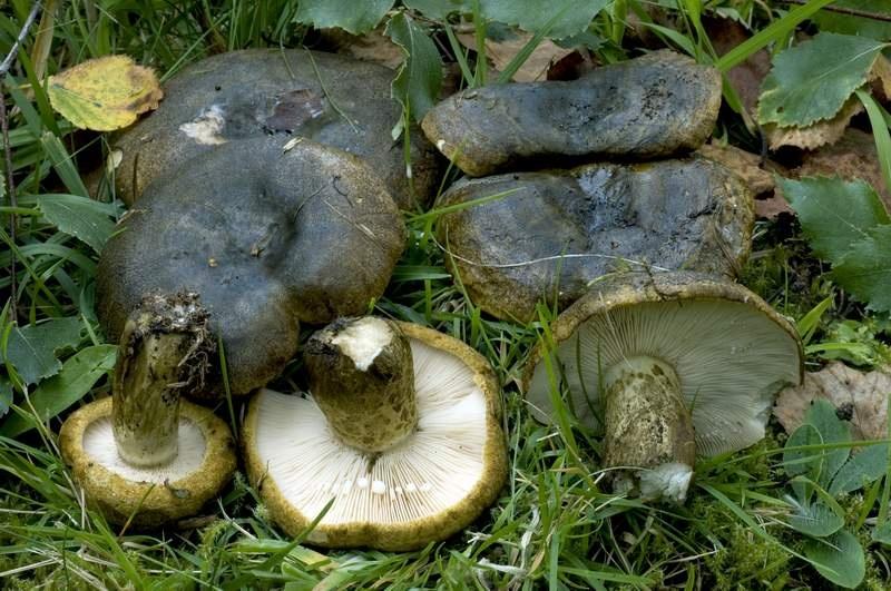 груздь осиновый грибы фото