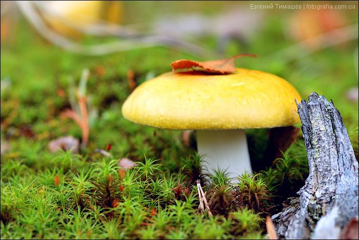 грибы сыроежки как готовить видео