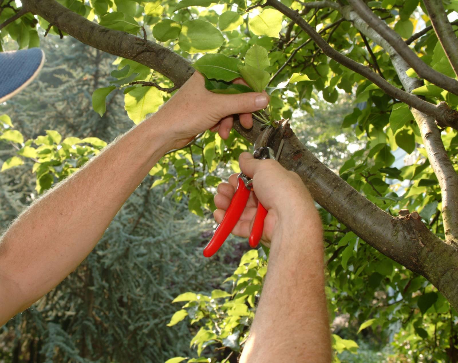 Уход за фруктовыми деревьями летом